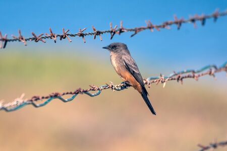 Cute Says Phoebe bird clinging to sharp barbed wire fencing while looking to left.