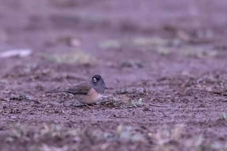Dark Eyed Junco bird hops along the ground looking for seeds eats one with head turned to right.