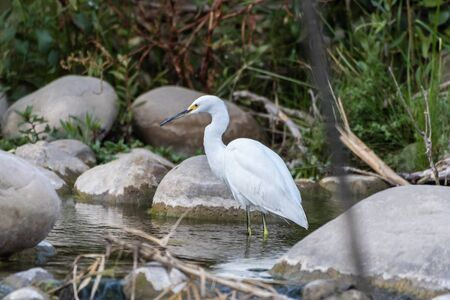 Graceful Snowy White Egret wades and stalks along the shallow creek searching for fish to eat.