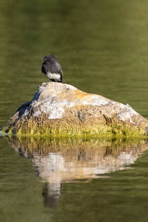 Sunny autumn weather illuminates clearly the Black Phoebe bird perched on rock in pond with reflection on water surface. Imagens