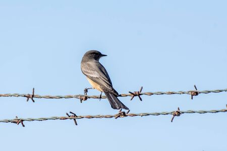 Say's Phoebe perches grasp between sharp wire barbs of protective fencing in Southern California.