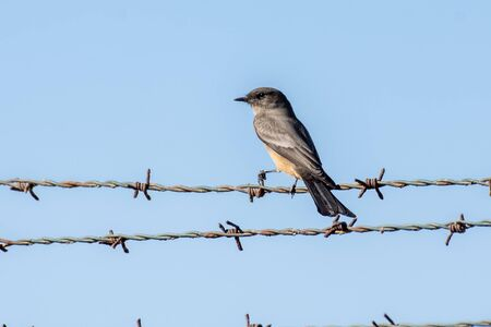 Say's Phoebe carefully avoiding sharp edges of barbed wire fence while safely perched in Southern California. Banco de Imagens