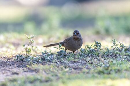 California Towhee bird searches through the grass on the ground for suitable seeds and food.