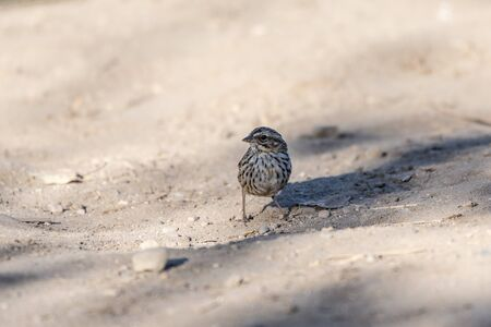 Tiny Song Sparrow keeps one eye out for danger while finding seeds in the river sand.