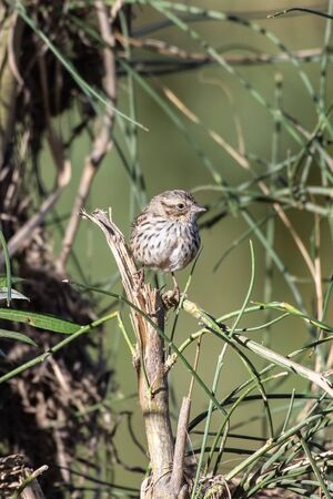 Watchful Song Sparrow balances on broken sapling branch while looking out for danger.