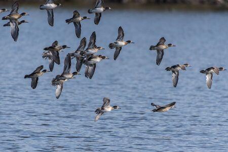 Flock of female Ruddy Ducks fly in formation over the estuary pond before settling in for a landing.
