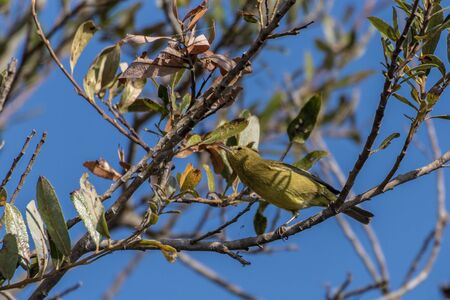 Orange Crowned Warbler shows great agility as he balances on branch perch and reaches with beak to the higher branch for bugs to eat. Imagens