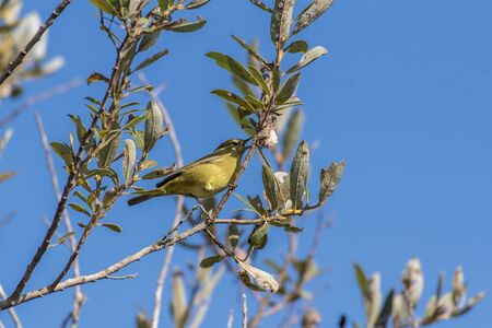 Orange Crowned Warbler opens beak to take a bite out of seed pod hanging from estuary tree.