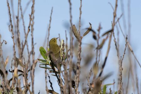 Alert Orange Crowned Warbler clings to vertical branch while looking for tasty bugs to eat.