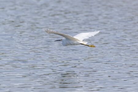 Graceful Snowy White Egret glides across the pond water surface with white wings spread wide.
