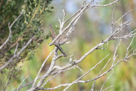 Cautious House Wren peeks from behind branch while perched in the estuary trees.