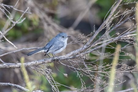 Blue Gray Gnatcatcher firmly grasp tree branch perch while searching for morning food. 스톡 콘텐츠