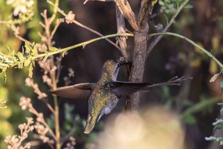 Tiny Rufus Hummingbird flutters wings rapidly enough to fly inside the vegetation to forage for food among the branches.