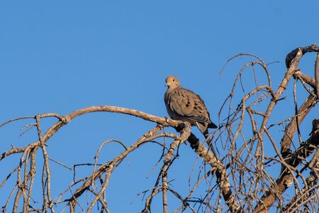 Mourning Dove keeping a safe watchful eye out while perched on top of dried branch tree in California.