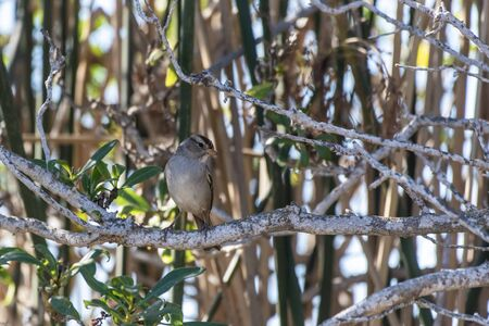 White Crowned Sparrow perched on firm wooden branch while looking into vegetation to right.