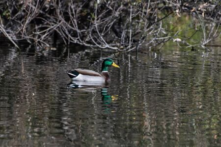 Colorful male mallard duck swims above his reflection in the pond water near shoreline.
