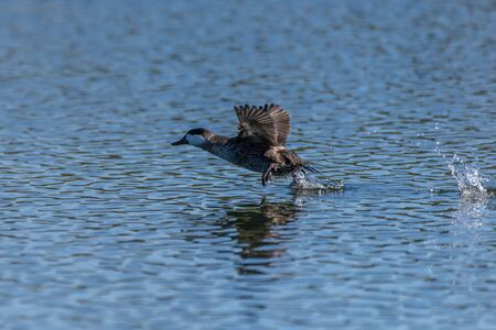 Quick Ruddy Duck splashes the pond water surface while skimming across during take off for flight.
