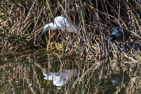 Snowy White Egret remains as motionless as possible among the shoreline reeds while waiting for unsuspecting fish to swim by.