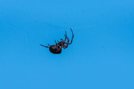 Female garden spider with hairy legs spins a web across a span to catch unsuspecting insects.