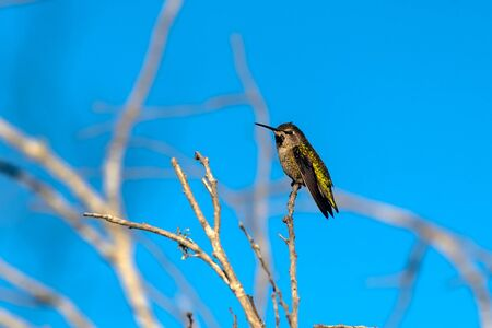 Shiny feathers of Rufus Hummingbird glow in the morning sunshine from his high branch perch. Reklamní fotografie