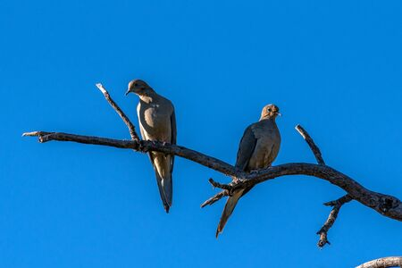 Mourning Dove couple sharing the same dried branch perch on clear Autumn day in Ojai.