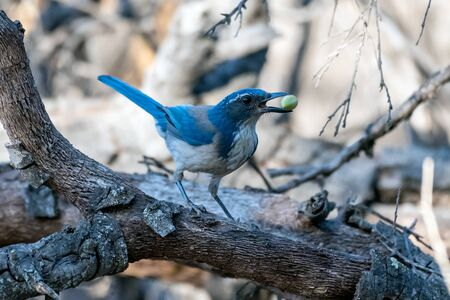 Proud blue Scrub Jay holds a prized foraged acorn in his beak while perched in alert posture on wooden branch. Reklamní fotografie
