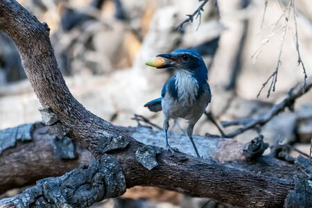 Proud blue Scrub Jay holds a prized foraged acorn in his beak while alertly looking left on wooden branch.