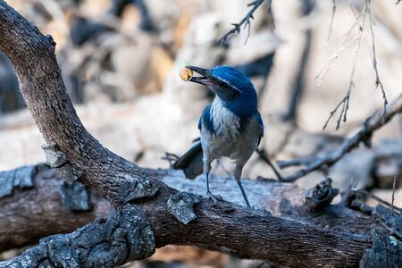 Proud blue Scrub Jay holds a prized foraged acorn in his beak while awkwardly twisting head to left on wooden branch.