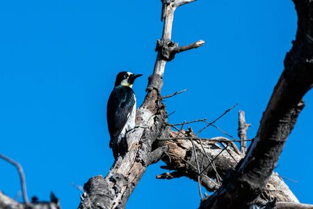 Hungry Acorn Woodpecker clings to dried tree trunk while pecking a hole in the wood and looking out for danger. Foto de archivo