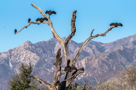 Group of huge Turkey Vulture birds all taking their own perch on a dried tree with wings spread to dry in morning sun.