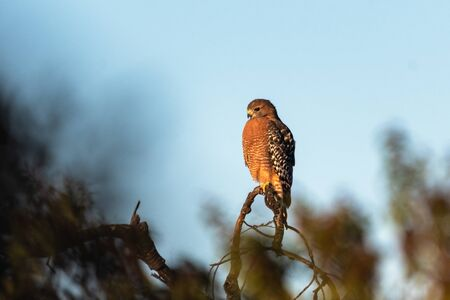 Fierce Red Shouldered Hawk rests atop dried branch perch with sharp claws while looking to the left for potential prey to hunt.