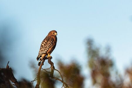 Fierce Red Shouldered Hawk rests atop dried branch perch with sharp claws while looking to the right for potential prey to hunt.