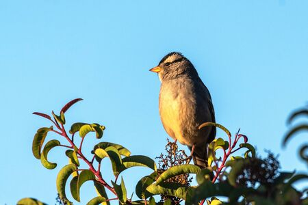 Cute and soft white crowned sparrow perched high on top of vegetation in Autumn while searching for seeds to eat.