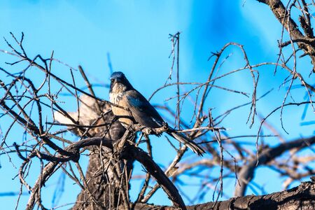 Blue Scrub Jay grasps branch perch tightly atop dead wood tree with blue sky in background while looking straight ahead. Reklamní fotografie