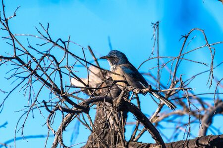 Blue Scrub Jay grasps branch perch tightly atop dead wood tree with blue sky in background while looking to left.