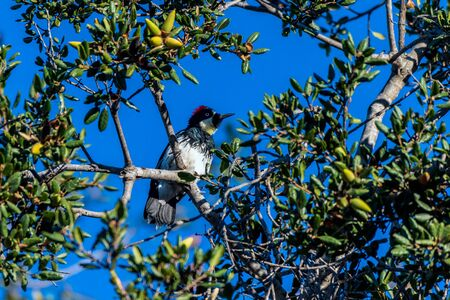 Acorn Woodpecker perches among acorns in the Oak tree while foraging for nuts in the Autumn morning. Reklamní fotografie