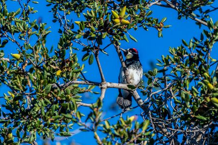 Acorn Woodpecker perches among acorns in the Oak tree while looking to left and foraging for nuts in the Autumn morning.