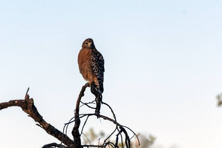 Fierce Red Shouldered Hawk rests atop dried branch perch with sharp claws while looking forward for potential prey to hunt.