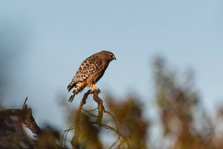 Fierce Red Shouldered Hawk rests atop dried branch perch with sharp claws while turned profile to the right for potential prey to hunt. Reklamní fotografie