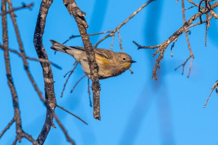 Cute and colorful juvenile Pine warbler leans out from branch perch and ready to take off in flight. Reklamní fotografie