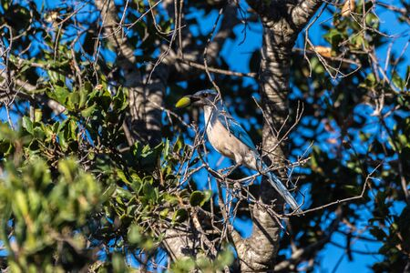 Blue Scrub Jay grasps branch perch tightly and holds acron firmly in beak in autumn vegetation.