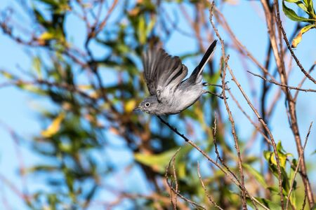 Blue Gray Gnatcatcher bird spreads wings to take off in flight from bush perch moving to the left.