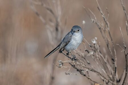 Blue Gray Gnatcatcher bird has delicate balance perched on the thin branches of the estuary vegetation.