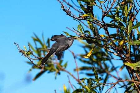 Blue Gray Gnatcatcher bird spreads wings to take off in flight from bush perch moving to the right.