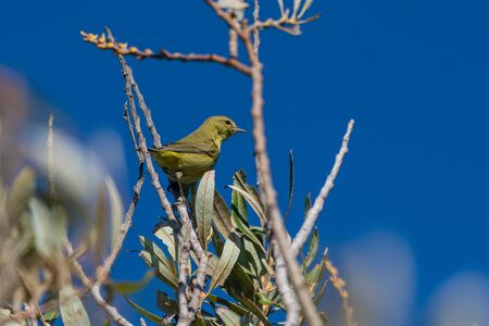 Resourceful Orange Crowned Warbler bird perched a top the tallest tree in the estuary while looking for bugs to eat among the leaves.