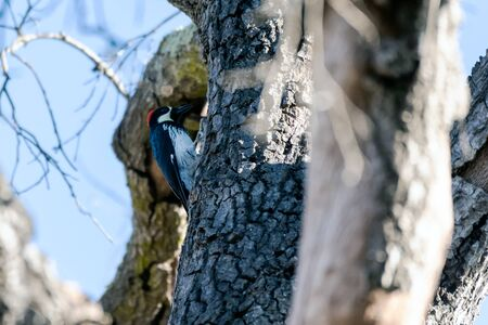 Female Acorn Woodpecker with open mouth, clings to Oak Tree bark while preparing to penetrate wood with beak.