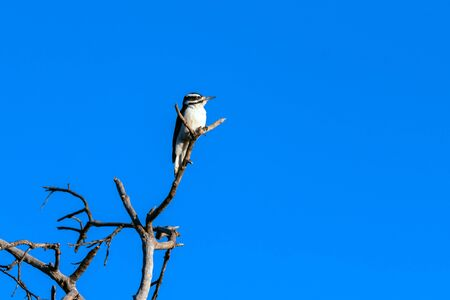 Female Downy Woodpecker perches at very top of dried tree branch against the deep blue Autumn sky.