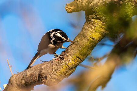 Female Downy Woodpecker clings to dried trunk of tree with beak firmly impaled into the wood. Reklamní fotografie