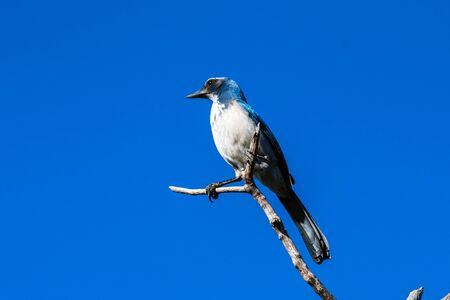Super alert Scrub Jay has blue feathers shining in the golden morning sunshine while perched high on dried tree branch. Reklamní fotografie