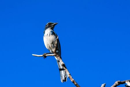 Super alert Scrub Jay looking to right has blue feathers shining in the golden morning sunshine while perched high on dried tree branch.